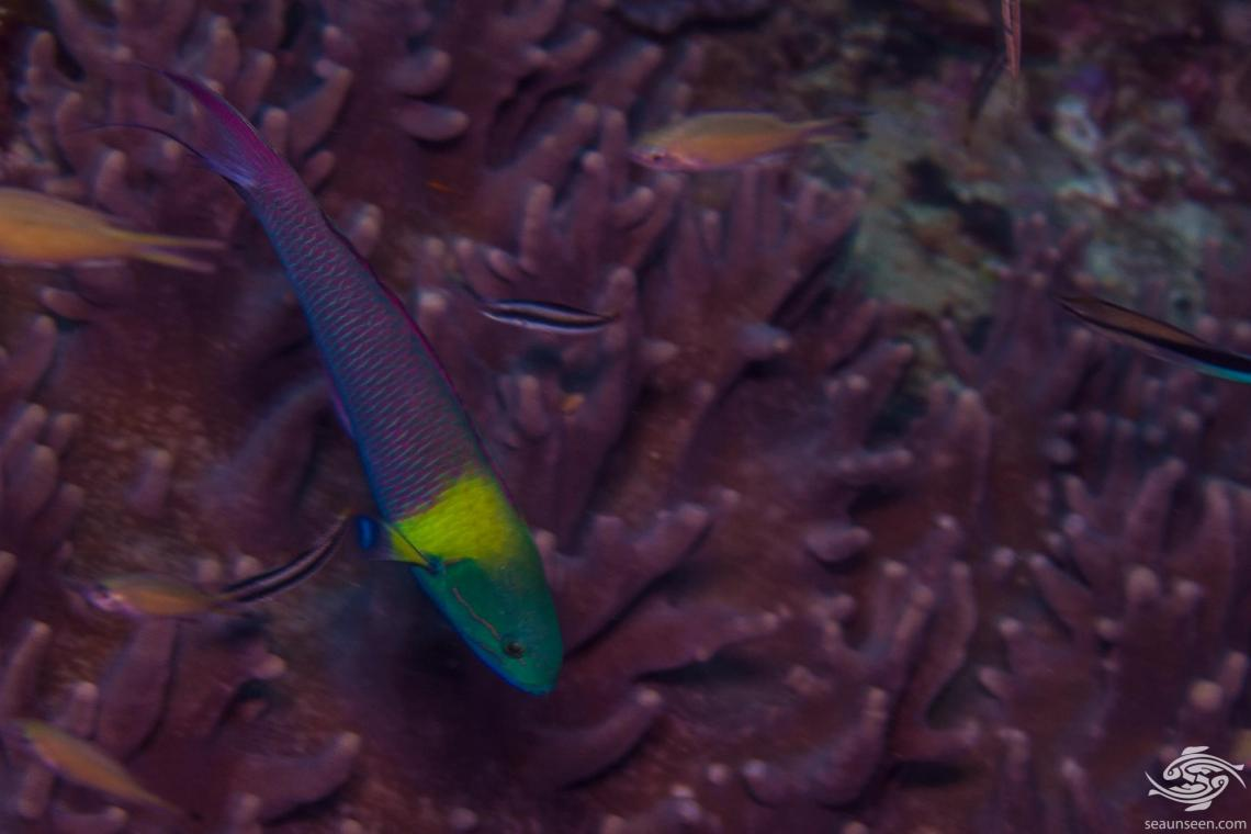 Twotone Wrasse (Thalassoma amblycephalum) also known as the Bluntheaded wrasse and the Blueheaded wrasse.