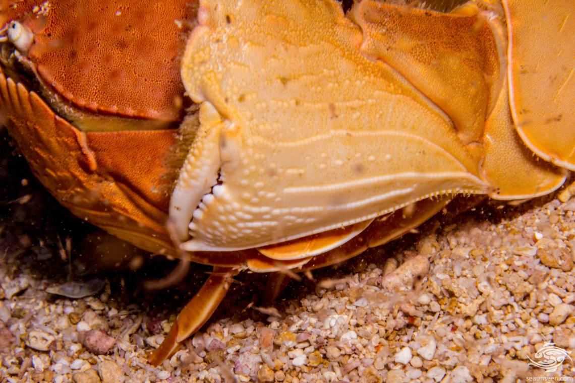 Smooth Box Crab (Calappa calappa) is also known as the Giant Box Crab