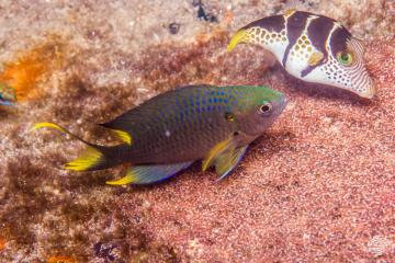 Regal Demoiselle (Neopomacentrus cyanomos) is also known as the Regal Damselfish and the Cresecent Damselfish