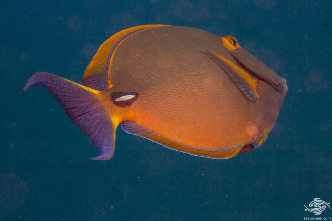 Eyestripe Surgeonfish (Acanthurus dussumieri) is also known as the Pencilled Surgeonfish, Dussumier's Surgeonfish, the Hawaiian Surgeonfish and the Ornate Surgeonfish.