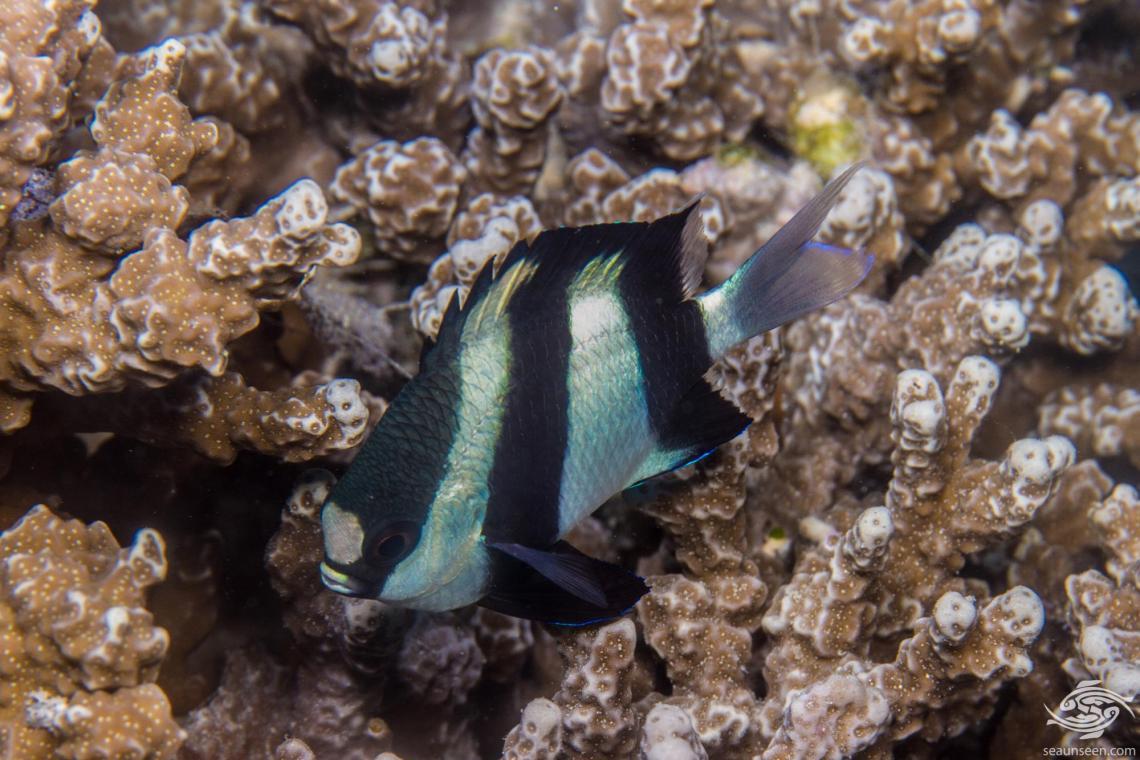 Indian Ocean Humbug Damselfish, Dascyllus abudafur