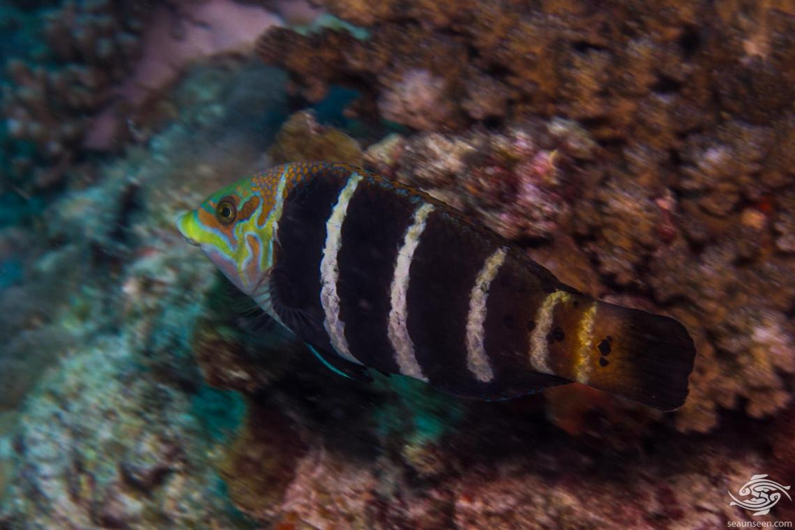 Barred Thicklip wrasse is also knowmn as the Banded thicklip, Barred wrasse and Five-banded wrasse