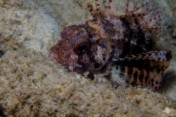 Fuzzy Dwarf Lionfish(Dendrochirus brachypterus) is also called the Shortfin Lionfish, the shortfin turkeyfish and the Dwarf Lionfish