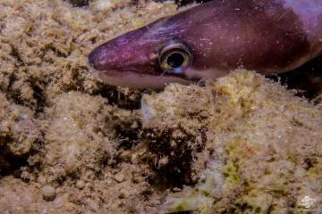 Longfin African Conger Eel (Conger cinereus) is also known as the Moustache conger eel and the Blacklip Conger Eel