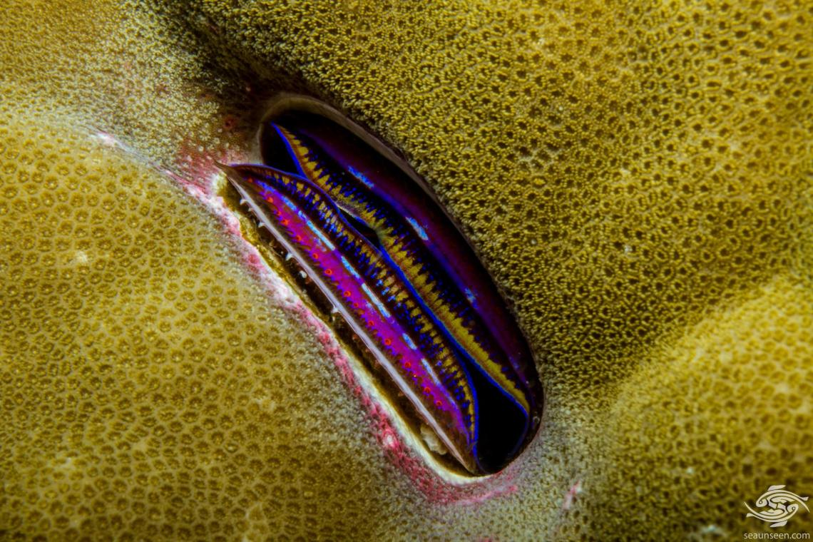 Coral Scallop (Pedum spondyloideum ) is also known as the Iridescent Clam