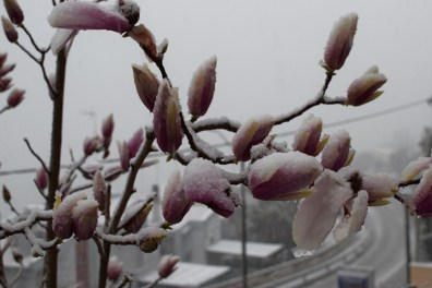 Snow-covered magnolia flowers