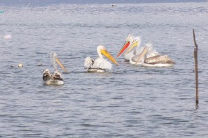 Birdwatching in Greece – Pelicans of Kerkini Lake