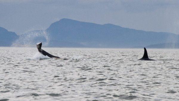 ORCAS-185