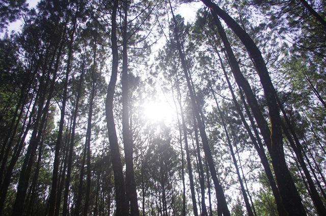 Pesona pohon pinus Hutan Bongkor