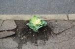 wieder eingepflanzt