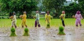 Rice farmers around Kep