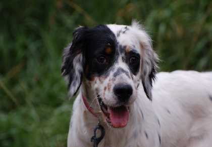 Jara English Setter Head