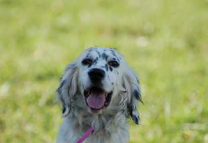 Luta English Setter head