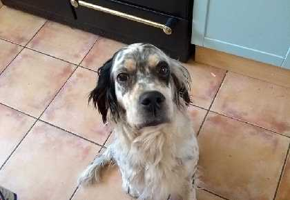 Tana English Setter Head