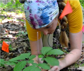 Jessica B. Turner, West Virginia University, uses an ethnobotanical and ecological approach to study the conservation of American ginseng, and how it relates to surface mining