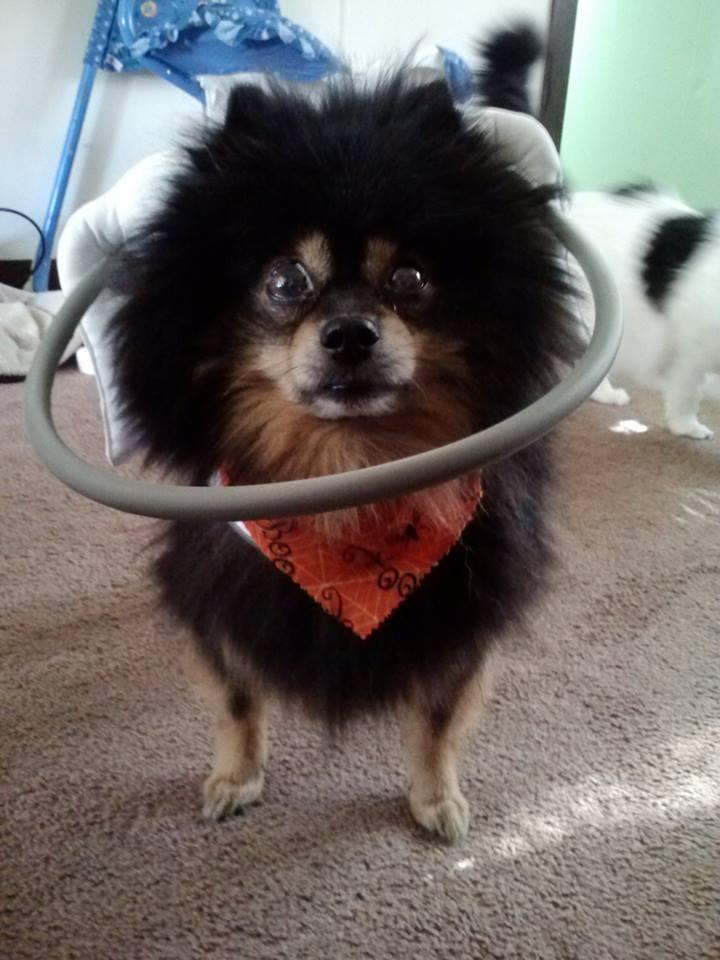 Megatron Blind Pomeranian blind dog halo