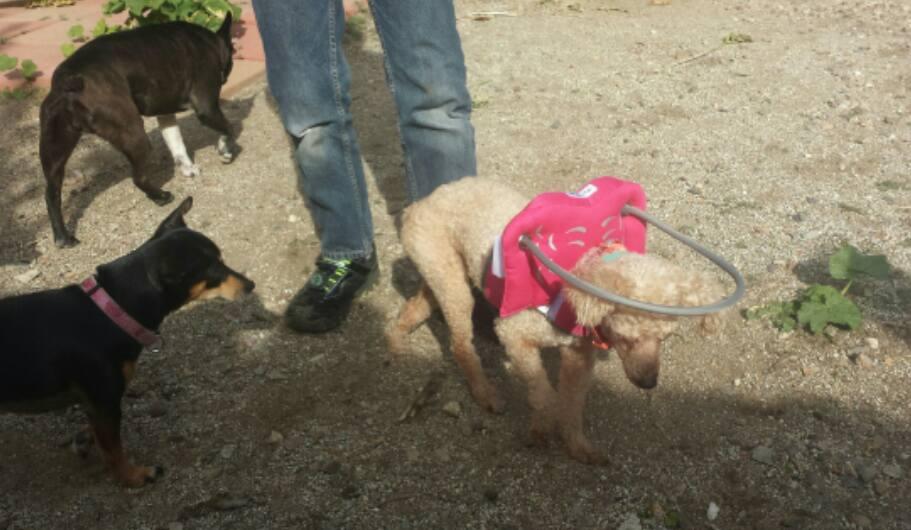 Honey Blind Poodle Halo