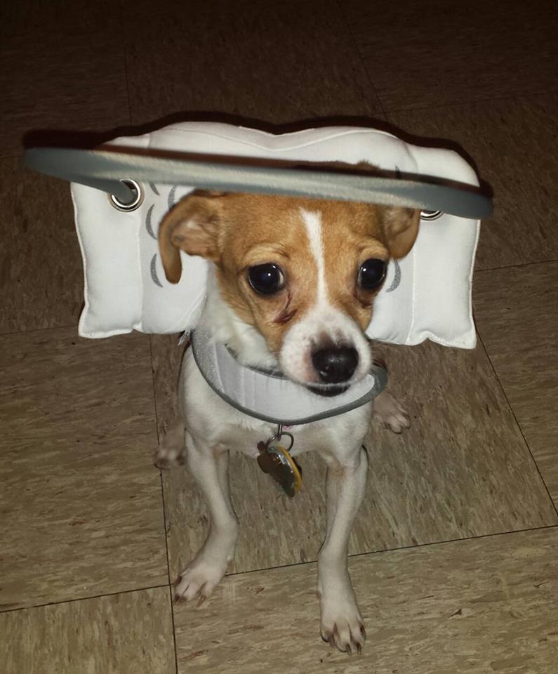 eggy Sue Blind Chihuahua Halo