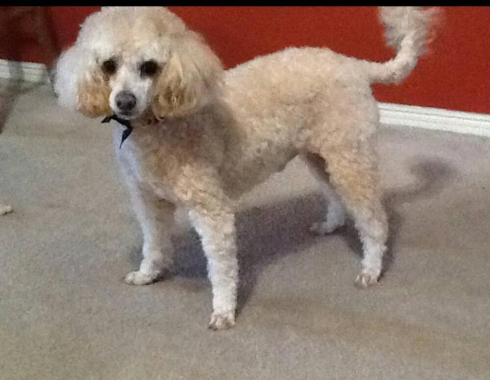 Andy Blind Poodle Halo