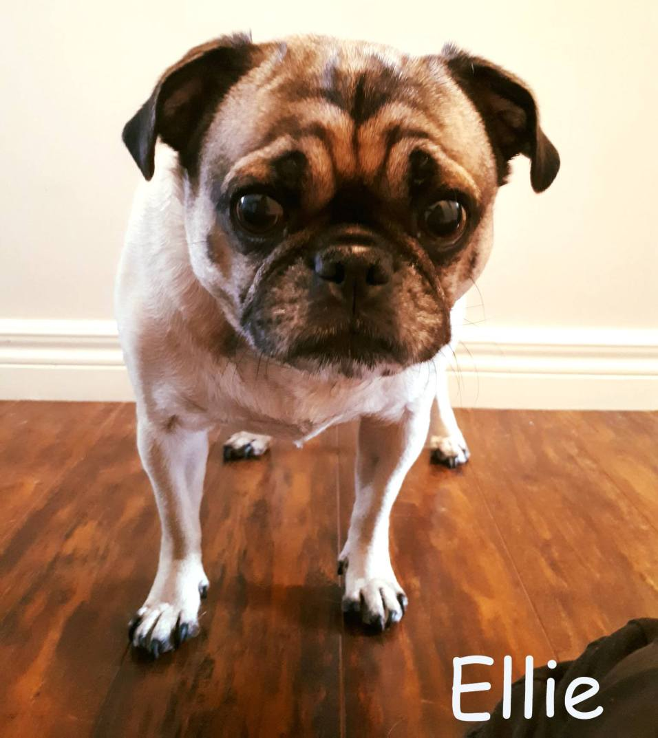 Ellie Blind Pug SARDS Halo Bumper
