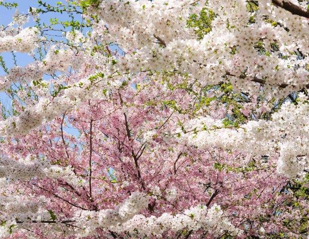 CherryBlossomsChicago11.jpg