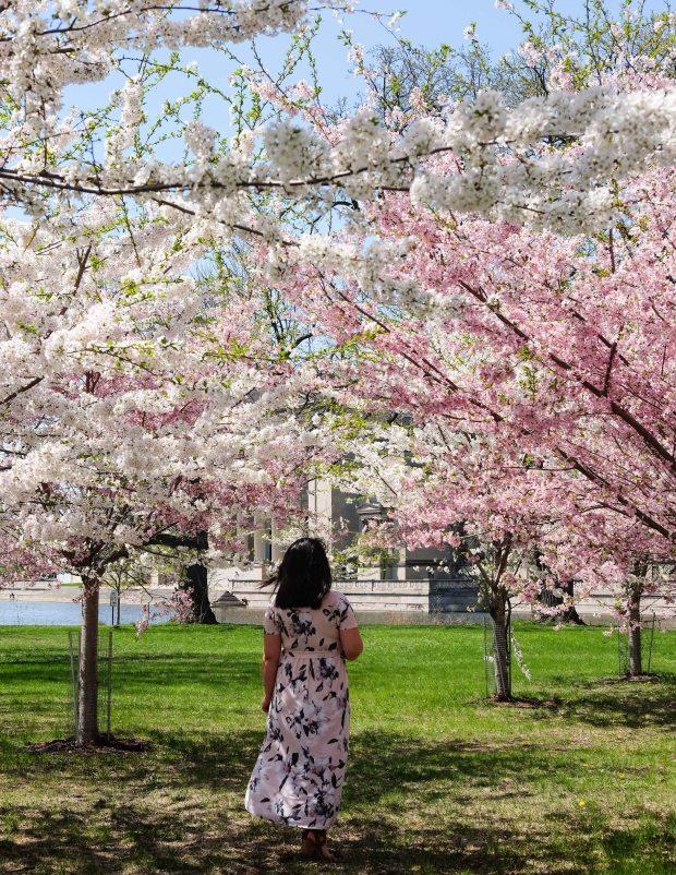 CherryBlossomsChicago5.jpg