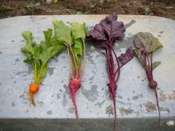 Rainbow of beets