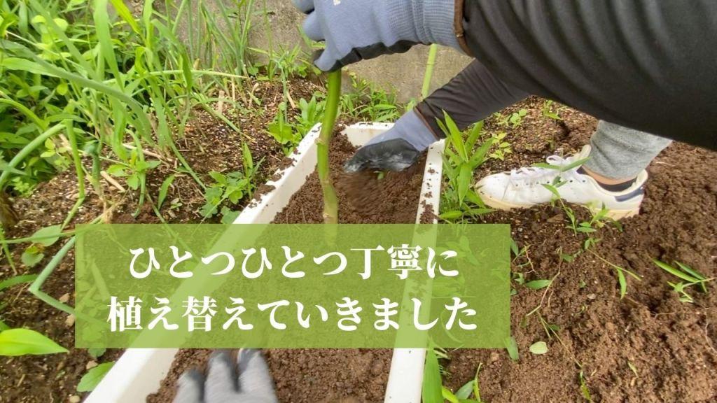 野菜を畑からプランターに植え替え
