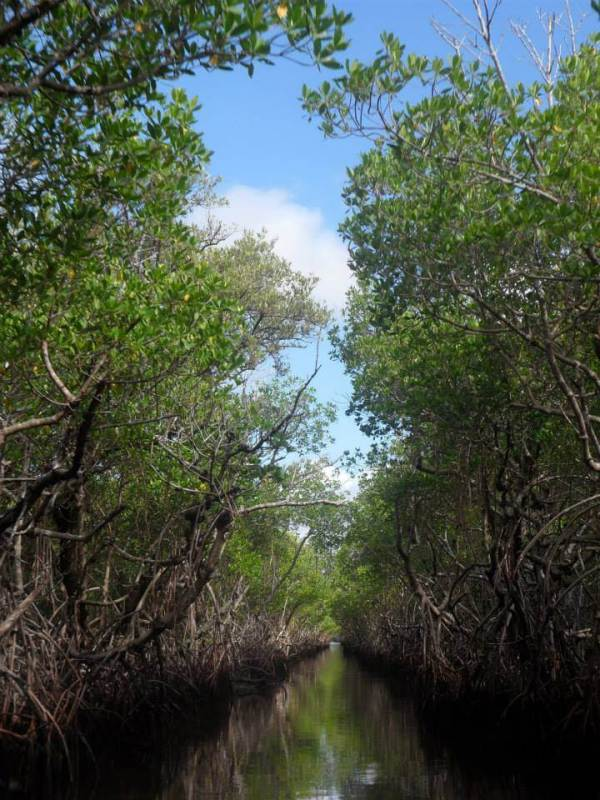 everglades mangroves