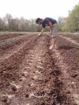 Wes planting onions