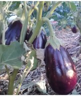 Eggplants, taking their time and filling out well.