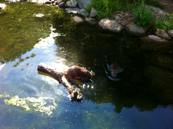 Otters at Barnes Wetland Centre