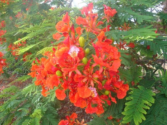 Flamboyant tree, Barbados