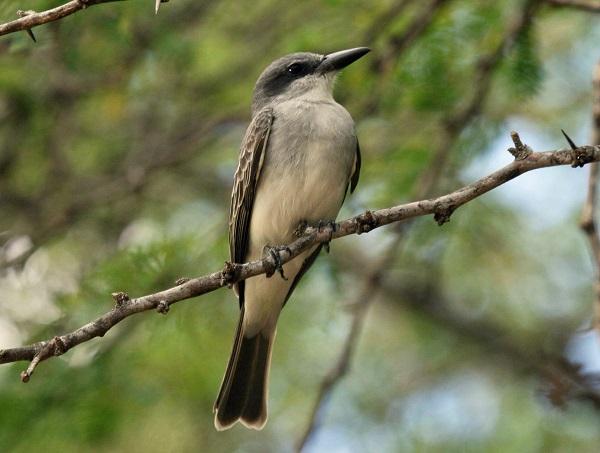 Birds of Barbados, gray kingbird