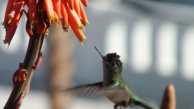 Barbados Hummingbird, lesser antilean crested