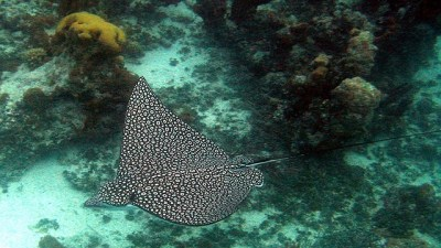 spotted eagle ray 360