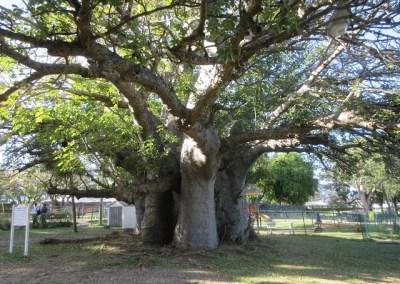 Baobab mystery