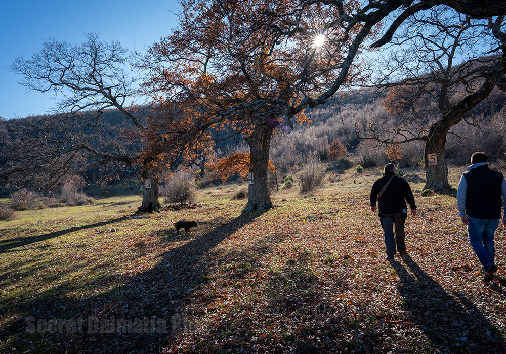 Hunting for truffles near sacred wells and oaks of Zmajevica. Only 40 minutes north of Split.