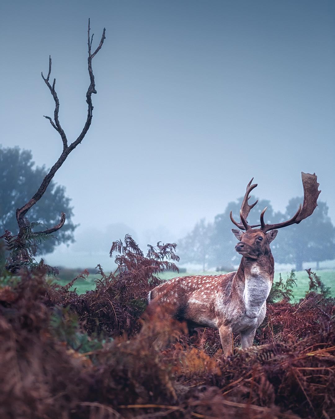 Deer in Richmond Park, London, in the autumn