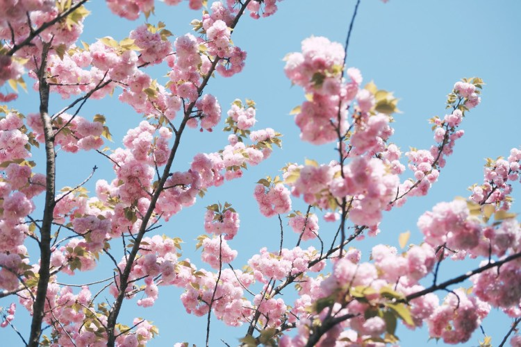 Best time to visit Shikoku - Cherry blossoms