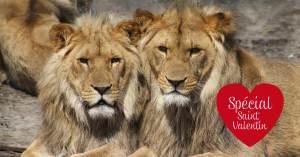Premier mariage gay animalier : union de 2 lions au Zoo d'Anvers (Belgique)