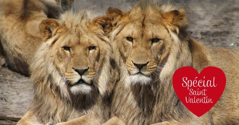 lions-mariage-gay-homo-secretnews-1 SecretNews