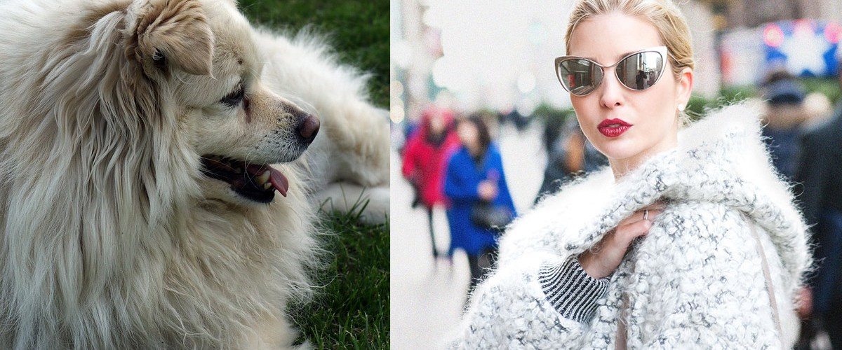 Ivanka Trump porte un manteau en laine de chien confectionné par un designer nord-coréen