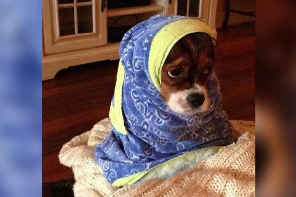 De plus en plus de chiens qui portent le voile : un phénomène qui inquiète les associations de défense des animaux