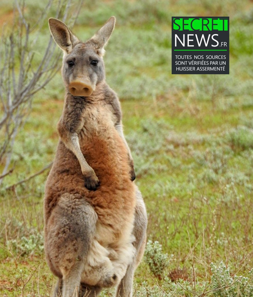 croisement-cochon-porc-kangourou-kangaroo-pig-secretnews-873x1024 Zoologie hybride : le Pigaroo, premier croisement réussi entre un porc et un kangourou