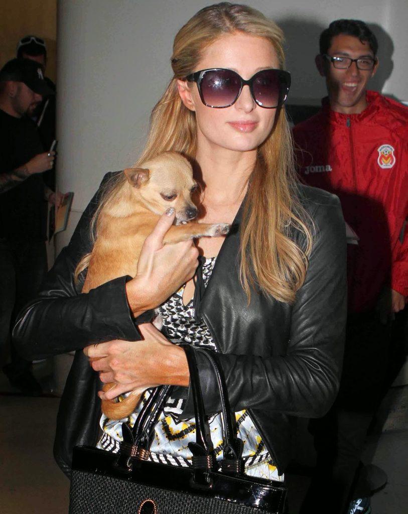 8b3a296d81273fac967471cb3f83f482-813x1024 Transgenre canin : Peter Pan le chien de Paris Hilton va suivre un traitement hormonal pour devenir une femelle
