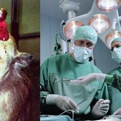 Des singes génétiquement modifiés pour être donneurs d'organes cérébraux