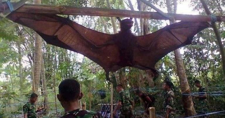chauve-souris-geante-giant-bat-indonesie SecretNews