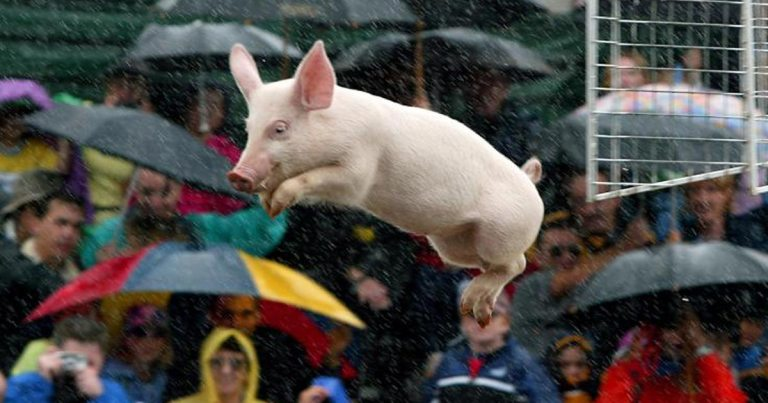 lancer-de-cochon-porc-vole-volant-flying-pig-1 SecretNews