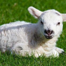 Des mosquées et des synagogues mises à disposition des chrétiens pour l'abattage rituel des agneaux pascals